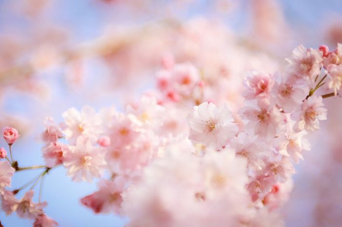 Flower Flowering Plant Fragility Freshness Plant Vulnerability  Beauty In Nature Blossom Pink Color Springtime Growth Nature Tree Close-up Branch Cherry Blossom Day Petal No People Selective Focus