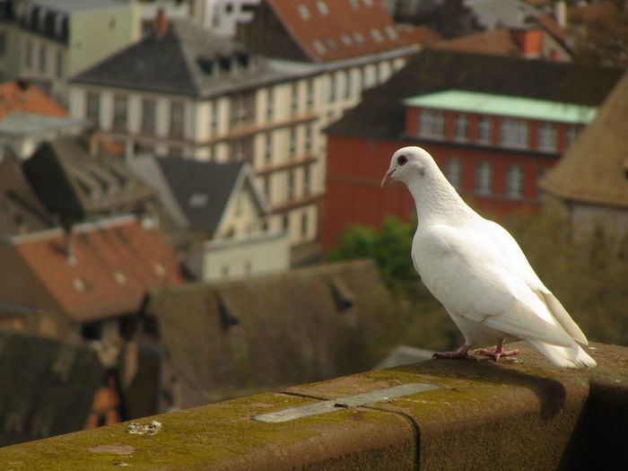 white pigeon, cathédrale Animal Animal Themes Animal Wildlife Animals In The Wild Architecture Bird Building Building Exterior Built Structure Close-up Day Focus On Foreground House No People One Animal Outdoors Perching Roof Seagull Vertebrate White Color White Pigeon