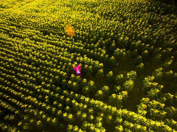 The Million Painter Phil Splash stands in a field of sunflowers Art Artist Dermillionenmaler Field Pinksuit Sunflower Sunrise Themillion