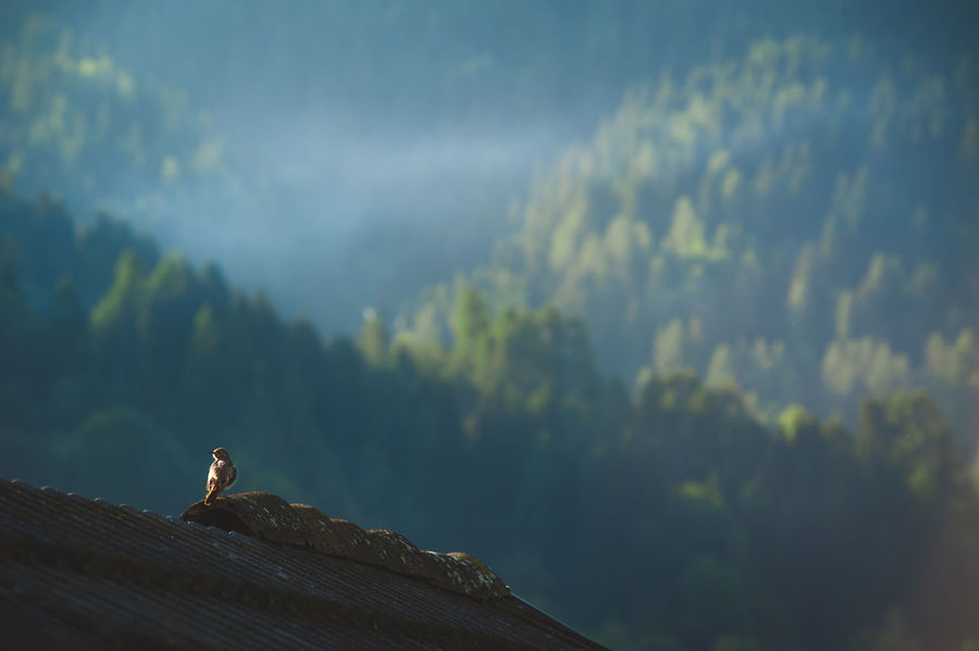 redstart bird on the roof Redstart Bird Bird Land Mountain One Animal Scenics - Nature Tranquility Tree