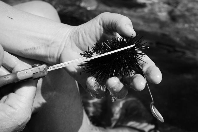 Cropped hand cutting sea urchin