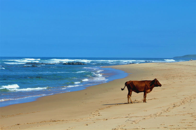 South Africa Travel Travel Photography Wild Coast African Beauty Animal Animal Themes Beach Beauty In Nature Bulungula Cow Horizon Horizon Over Water Land Mammal No People One Animal Outdoors Sand Sea Travelphotography Vertebrate Water Wave Wild Coast Without People