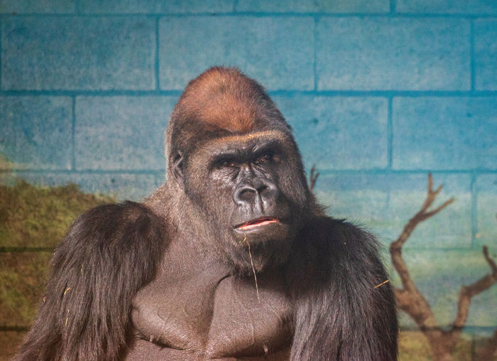 A day at the zoo! Granby Zoo Zoology Canada Coast To Coast Travel Destinations Tourist Attraction  Sony A68 Sigma 50-500mm Mammal Vertebrate Animal Wildlife Animals In The Wild Day No People Gorilla Primate One Animal Animals In Captivity Ape Zoo Portrait Focus On Foreground Looking Outdoors Mouth Open