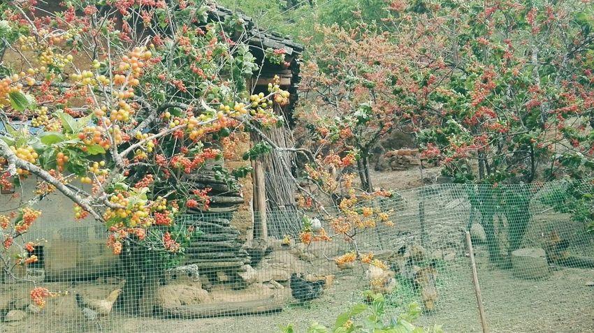 樱桃农舍 Tree Close-up Plant