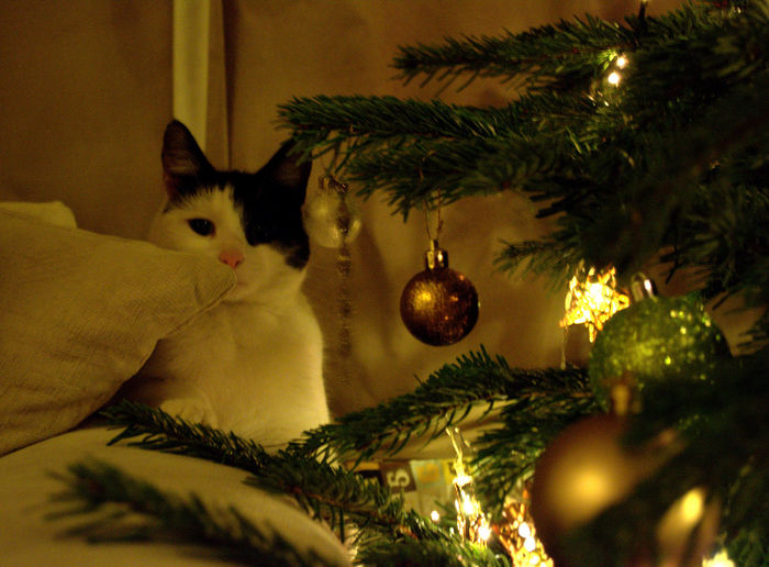 A 9 foot Christmas tree arrived today! Cat Christmas Christmastree Pet Potrait Showcase: December