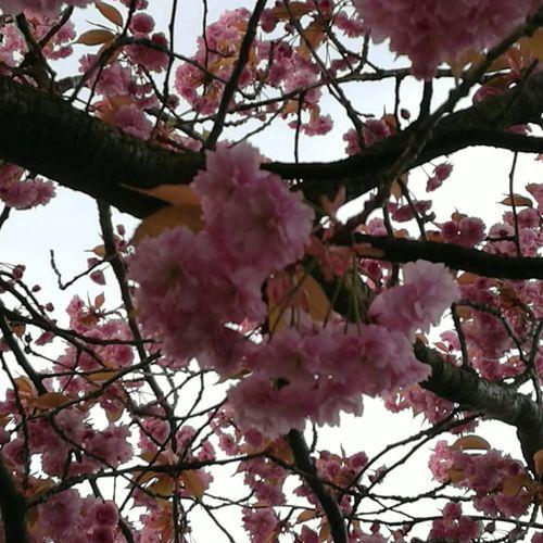Branch Flower Cherry Blossom Springtime Freshness Botany Nature Growth Fragility Tree Beauty In Nature Earlymorning  Sunrise Stalybridge April Power In Nature Openyoureyes EnjoyTheMoment Happinessisinthejourney