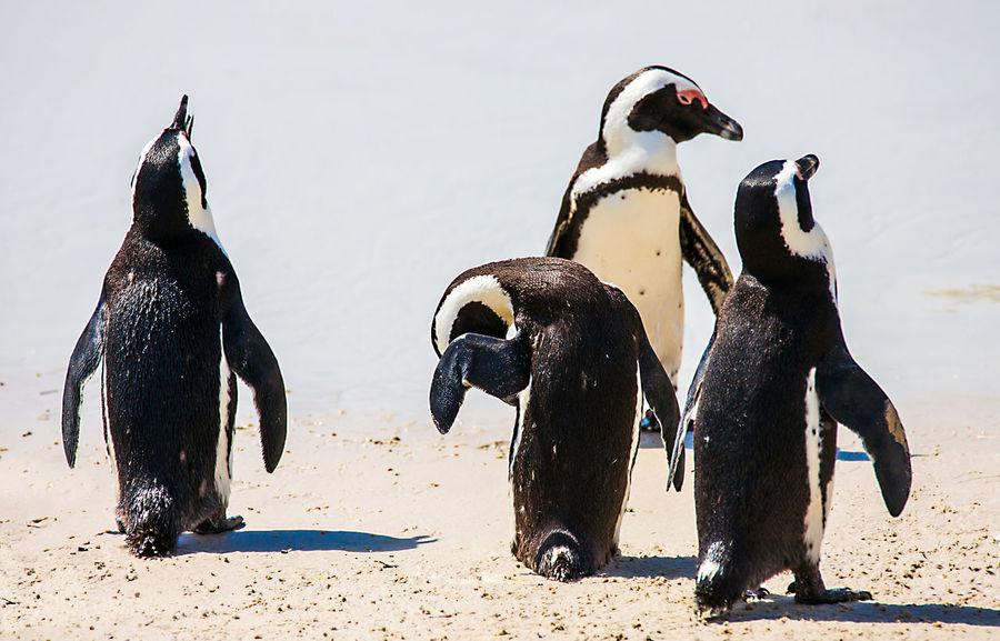 Cape Town, South Africa Fish Hoek South Africa Beach Boulders Colony False Bay Penguin Simons Town