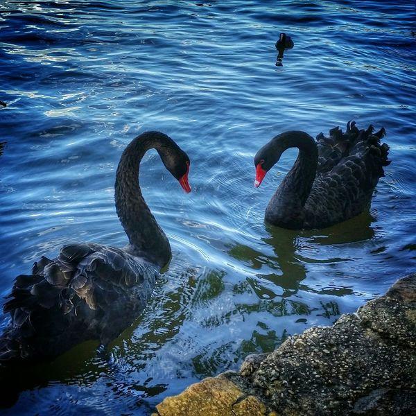 Black Swans Canberra