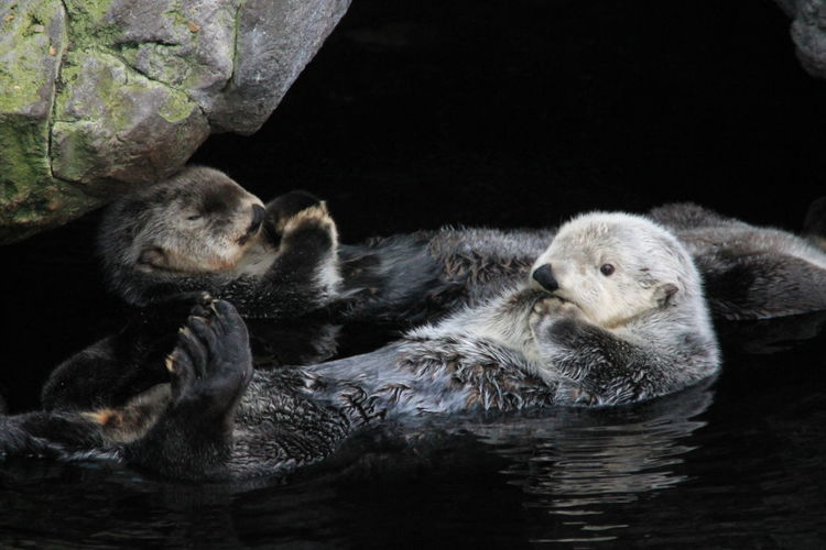 Otters swimming in water