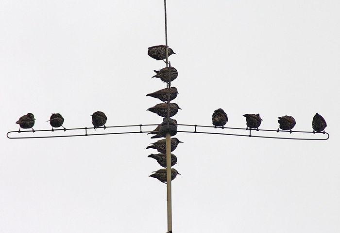 Stare auf einer Fernsehantenne Standing Animal Themes Animal Wildlife Animals In The Wild Bird Communication Connection Large Group Of Animals Sky Technology