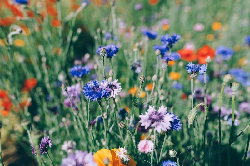 Close-up of purple flowering plants on field