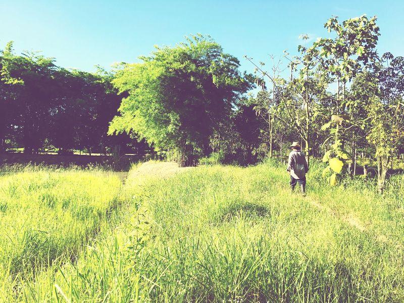 Rice Field Farmer Thailand Norheast Green Nature Walking Landscape