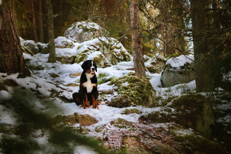 Dog sitting on snow covered forest