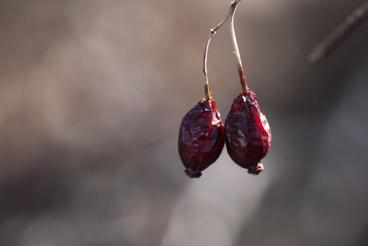 Two dried rose hips hang onto their branch in late winter. Close-up Copy Space Dried Fall Focus On Foreground Food Freshness Fruit Hanging Medicinal Natural Nature Nature No People Outdoors Plant Red Rosa Rose Hip Rosehip Rosé Vitamin Vitamin C Wild Winter