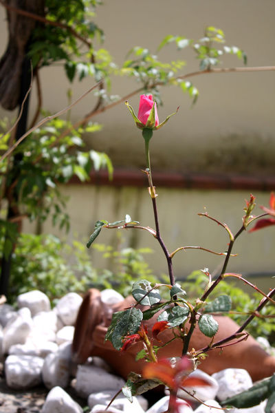Pink rose Pink Rose Flower Beauty In Nature Bocciolodirosa Branch Close-up Day Flower Flower Head Focus On Foreground Fragility Freshness Fruit Green Roses Growth Leaf Nature No People Outdoors Pink Color Plant Red Rosa Di Spine Rose🌹 Rosé Tree