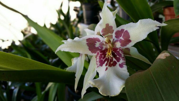 Flowers Orquideas
