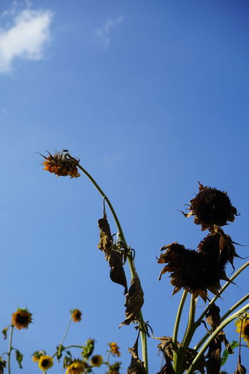 Dried sunflowers in summer heat after weeks of no rain-Global Warming Drought Global Warming Hot Animal Animal Themes Animal Wildlife Animals In The Wild Beauty In Nature Bee Blue Clear Sky Copy Space Day Dry Flower Flower Head Flowering Plant Growth Heat - Temperature Insect Invertebrate Low Angle View Nature No People Outdoors Plant Pollination Sky Sun Yellow