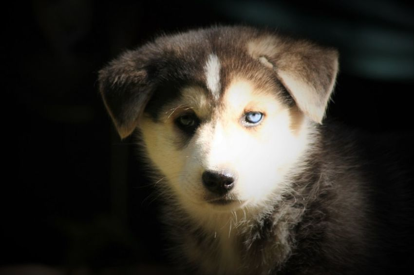 Husky puppies Alertness Animal Body Part Animal Eye Animal Head  Animal Themes Blue Eyes Close-up Cute Domestic Animals Focus On Foreground Husky Love Husky Puppy Husky ♡ Mammal Pets Portrait Snout Staring