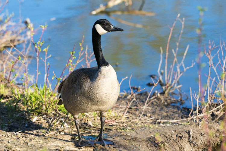 Close-Up Of Canada Goose On Lakeshore
