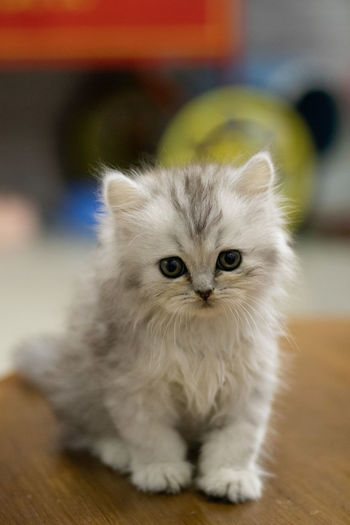 Close-up portrait of kitten on table