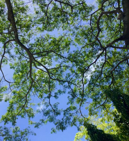 Beauty In Nature Blue Branch Clear Sky Day Growth Low Angle View Nature No People Outdoors Scenics Sky Tranquility Tree