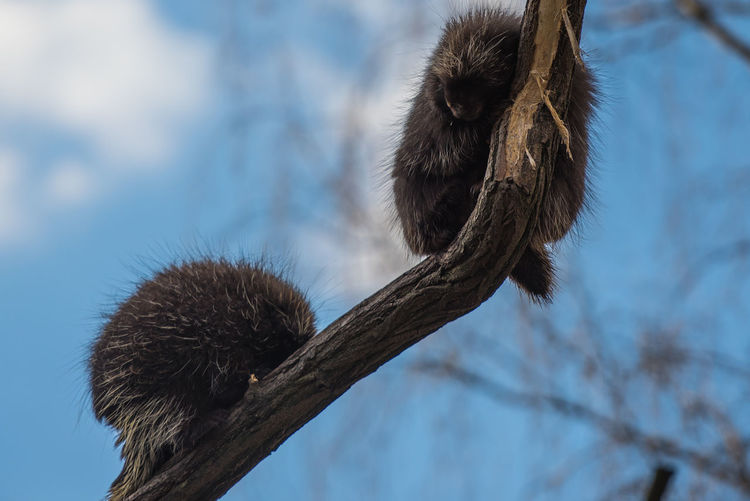 Low angle view of porcupines on branch