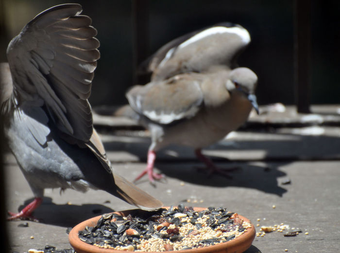 Bird Vertebrate Animal Animal Themes Food Animals In The Wild Group Of Animals Animal Wildlife Eating Food And Drink Day Feeding  No People Pigeon Sunlight Flying Close-up Focus On Foreground Nature Two Animals Dove White-winged Dove White Winged Dove Territorial Fight