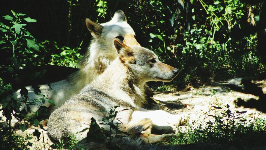 Wolfies Zoo