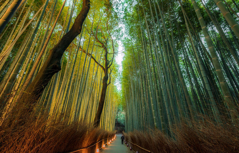 Person walking on footpath amidst bamboo trees in forest
