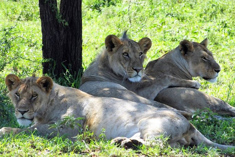 Lions resting in forest