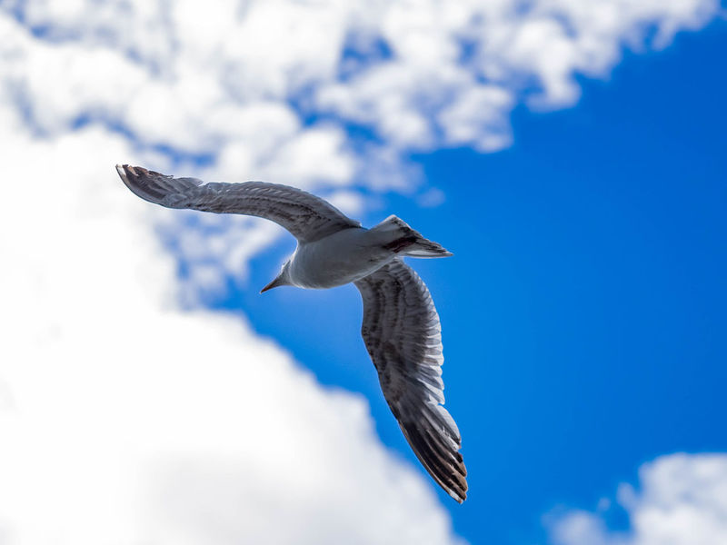 Animal Themes Animal Wildlife Animals In The Wild Beauty In Nature Bird Blue Blue Sky Blue Sky With Clouds Close-up Clouds Day EyEmNewHere Flight Flying Gull Mid-air Nature No People One Animal Outdoors Seagull Seaside Sky Spread Wings Wings Spread