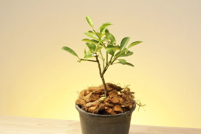 Bonzai Beauty In Nature Bonsai Tree Close-up Day Freshness Growth Indoors  Leaf Nature New Life No People Orange Plant Plant Potted Plant