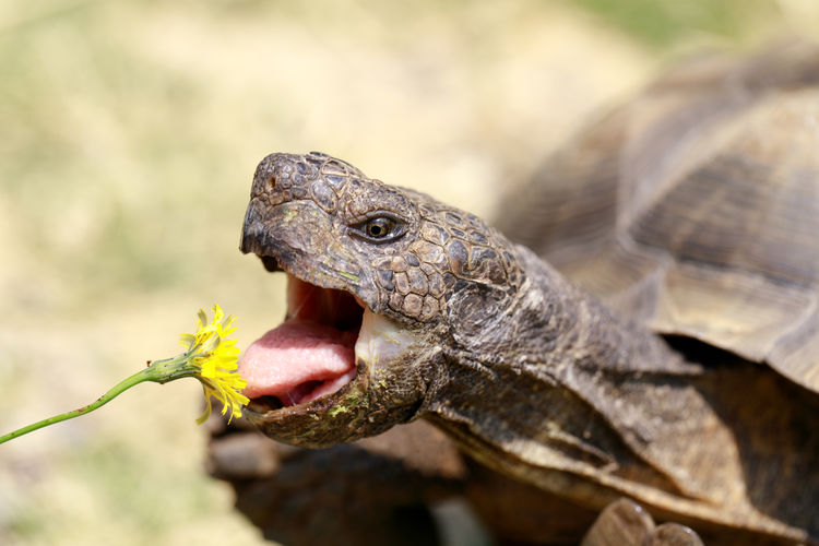Close-up of tortoise eating flower