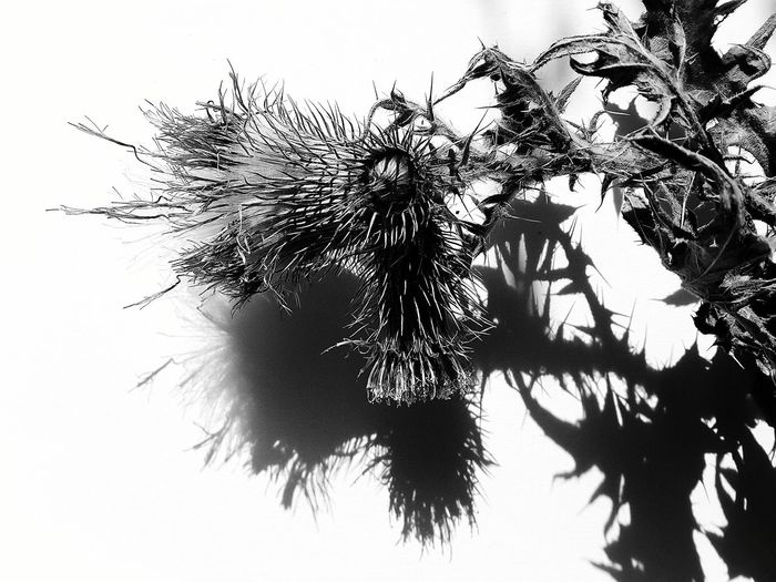 Chardon Plant