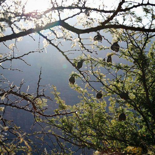 wevers house Wever Nest Bird House Tree Afrika Zuidafrika Waterberg Photograph Nature_perfection Photographer