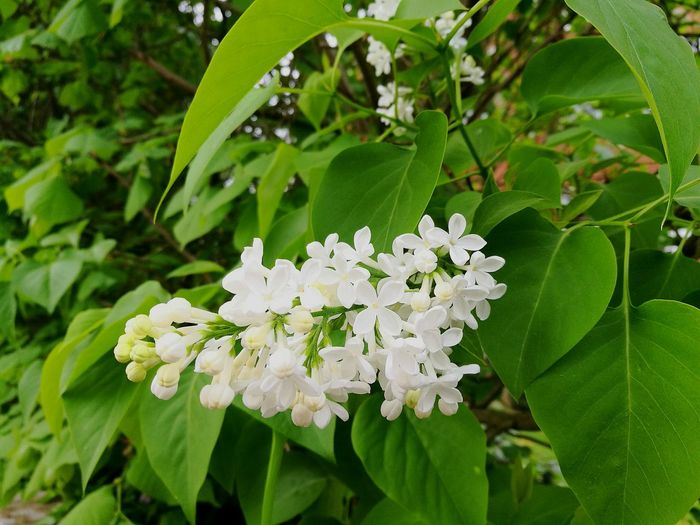 White Color Green Color White And Green Nature Leaf Flower Plant Beauty In Nature Growth Day Flower Head Outdoors Freshness Close-up Nature On Your Doorstep Smartphonephotography Fresh P9 Huawei Flowers, Nature And Beauty Spring Springtime White Lilac Lilac Flower Photography Botany