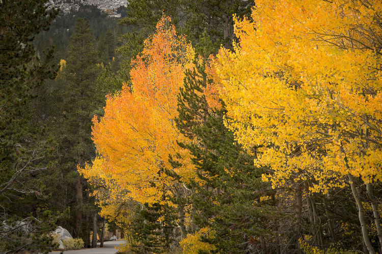 Autumn colors Plant Tree Autumn Yellow Beauty In Nature Nature No People Forest Scenics - Nature Outdoors Orange Color Tranquil Scene Landscape Autumn Collection Fall Leaf Eastern Sierra Trees Aspen Trees Horizontal Composition