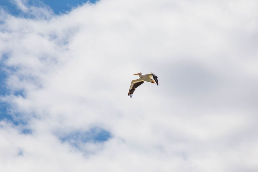 Large sea bird flapping wings while flying in cloudy blue sky. Animal Animal Themes Animal Wildlife Animals In The Wild Beauty In Nature Bird Cloud - Sky Day Flying Freedom Low Angle View Mid-air Motion Nature No People One Animal Outdoors Pelican Seagull Sky Spread Wings Vertebrate