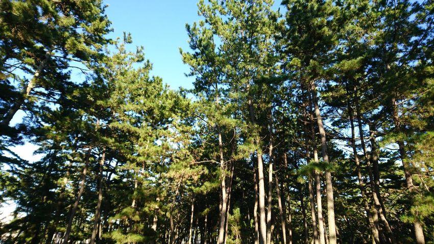 松原 Tree Low Angle View Nature Growth Beauty In Nature Day Outdoors No People Green Color Forest Sky Branch Freshness