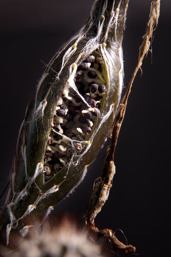 Close-up of lizard on dry plant against black background