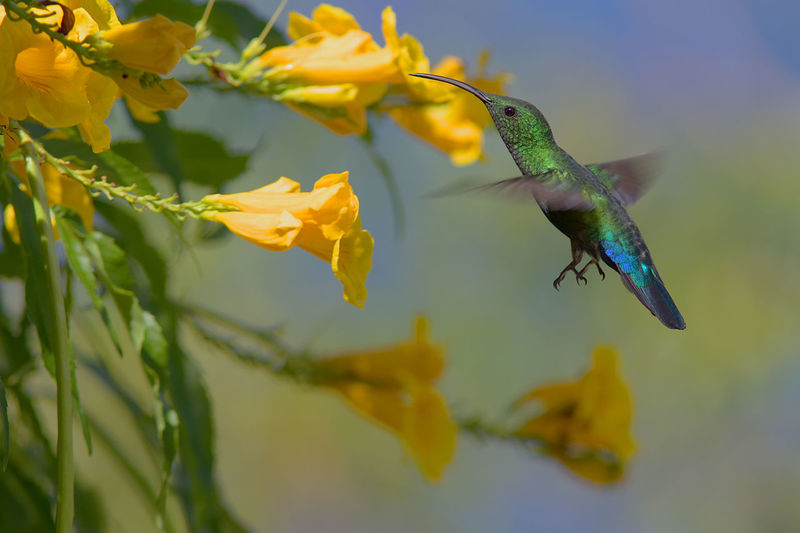 Close-up of hummingbird drinking from flower
