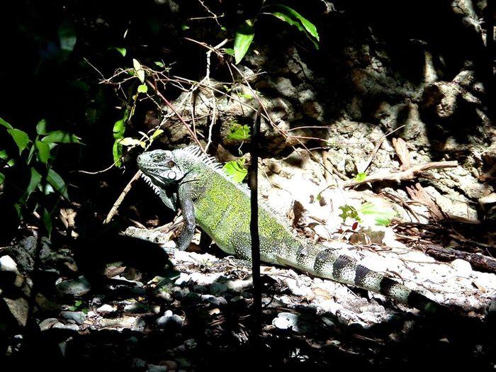 Guadeloupe Iguane Portrait En Milieu Naturel Beautiful ♥ Mieu Qu'en Captivité
