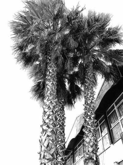 Tree Low Angle View Day Palm Tree Outdoors Nature Blackandwhite Black & White Black And White Photography Black And White Collection  Noir Et Blanc Photographie Noiretblanc, Blackandwhite Noir Et Blanc Noir&blanc Palmiers 🌴👣 Palmiers Black And White Friday