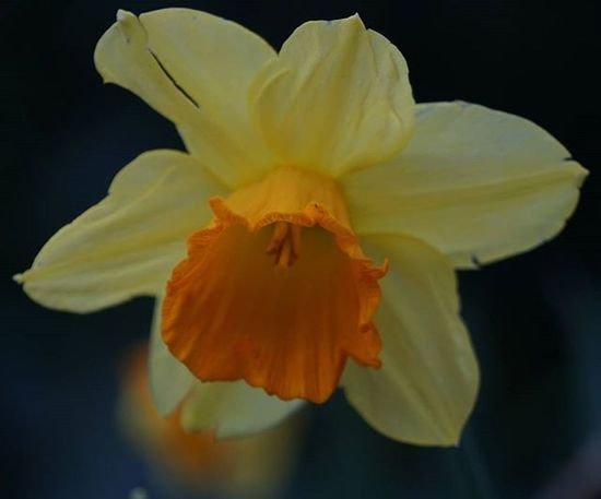 Day 3 of 7daynaturechallenge Macro shot I tried of a Daffodil Hopefully have the time to get out tomorrow and find some more shots. Nationalwildflowercentre Daffodil Spring Fiftyshades_of_nature Igersmersey Ig_liverpool Flowers Wildflowers Ukwildlifeimages Uk_wildlife_images Macrophotography Macro_flower Sonyphotography Sonyalpha SonyA5000