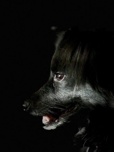 Portrait of a dog. One Animal Dog Pets Black Background Close-up No People