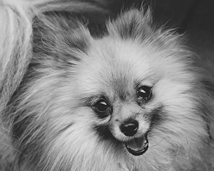 Smile like a pomeranian Pomeranian Dog Pets One Animal Domestic Animals Animal Themes Mammal No People Portrait Close-up Looking At Camera