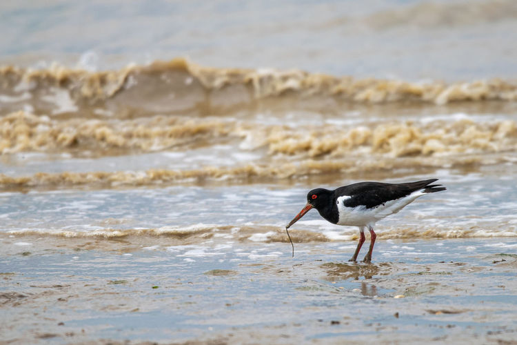 Common pied oystercatcher, haematopus ostralegus, searching for food in the dengie mud flats