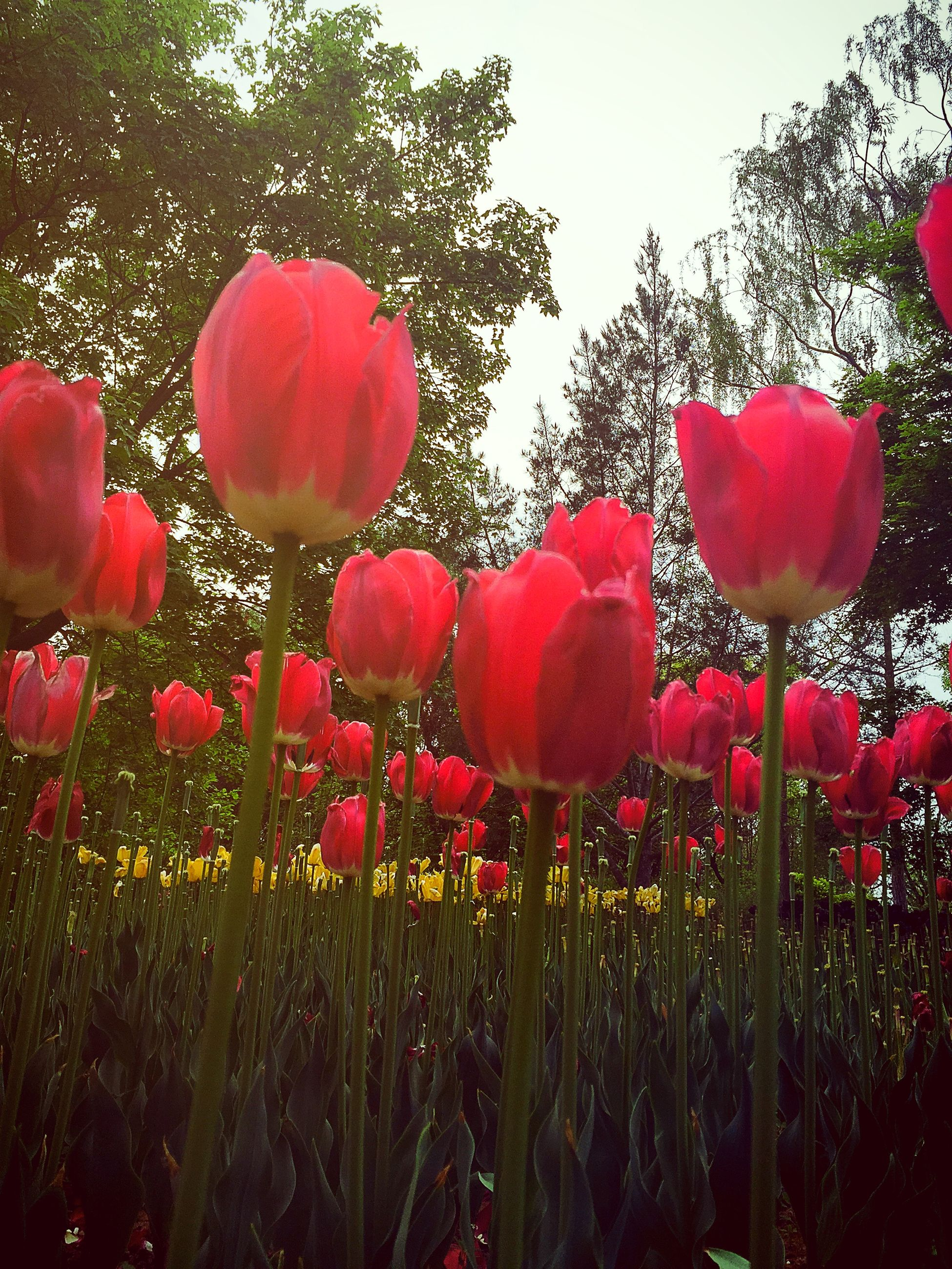 flower, freshness, red, growth, fragility, petal, beauty in nature, tulip, plant, flower head, nature, blooming, field, stem, poppy, in bloom, day, no people, blossom, outdoors