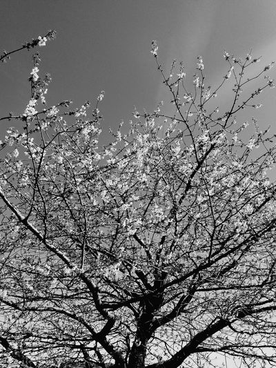 Grey Filter Blossom Tree Bold White Spring Flowering Trees Beauty In Nature