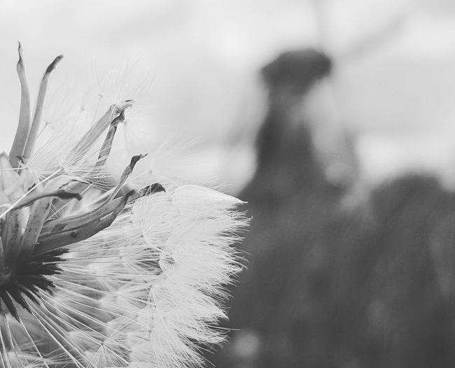 Captured Beauty Nature On Your Doorstep Nature Photography Nature_collection Nature Dandelion Netherlands Windmill Dandelion Plant Life Dandelion Seed Softness Fragility